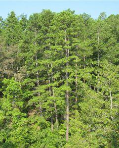 483px-Pinus_echinata_Rocky_Creek