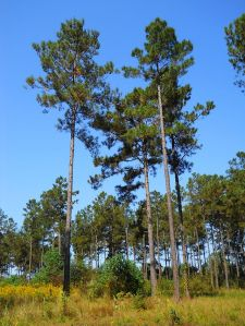 640px-Loblolly_Pines_South_Mississippi